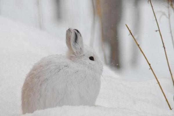 snowshoe_hare.jpg