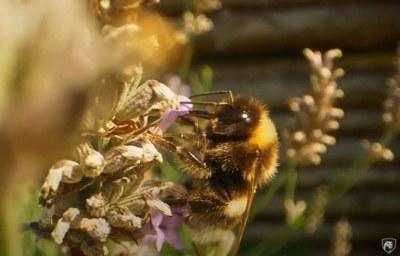 Bee Pollinator 2021